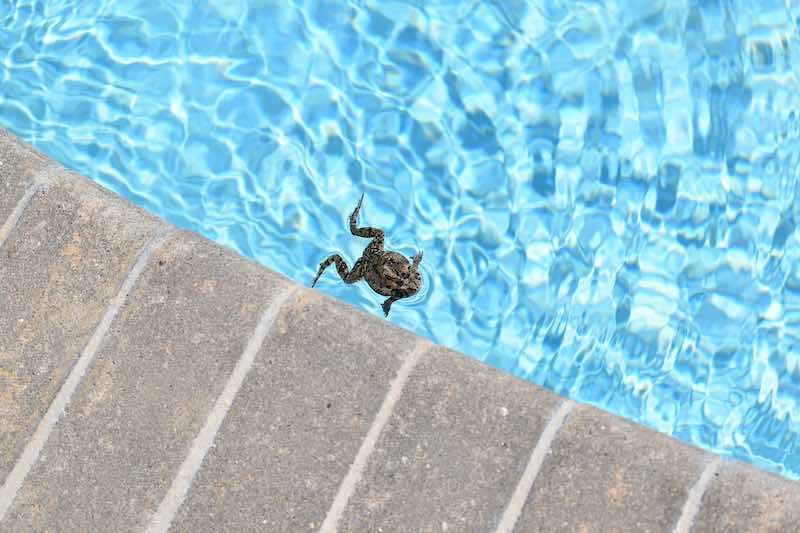 Little frog swimming in a swimming pool trapped inside